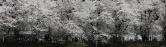 [义拍]简庆福摄影作品 日本樱花 一幅(带框)